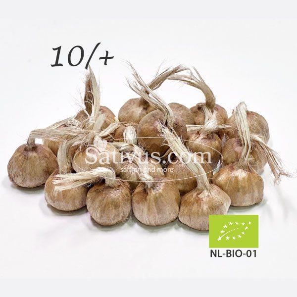Crocus Sativus 10/+ EKO 1000 sztuk